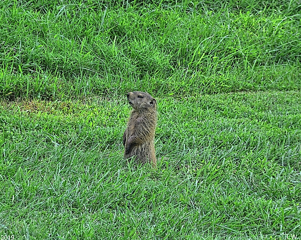 Ground Hog by Lisa Wooten